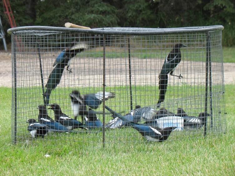 Magpie traps do they work for Home made product for sale