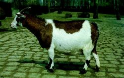 Name:  Sheep Farming  Raising Sheep Guide For Young Entrepreneurs --- West African Dwarf sheep.jpg Views: 378 Size:  12.5 KB