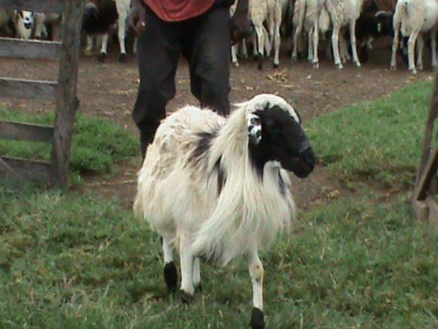 Name:  Sheep Farming  Raising Sheep Guide For Young Entrepreneurs --- Djallonke Sheep breed.jpg