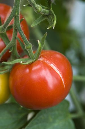 Name:  cracking tomatoes 2.jpg
