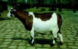 Name:  Sheep Farming  Raising Sheep Guide For Young Entrepreneurs --- West African Dwarf sheep.jpg Views: 506 Size:  12.5 KB
