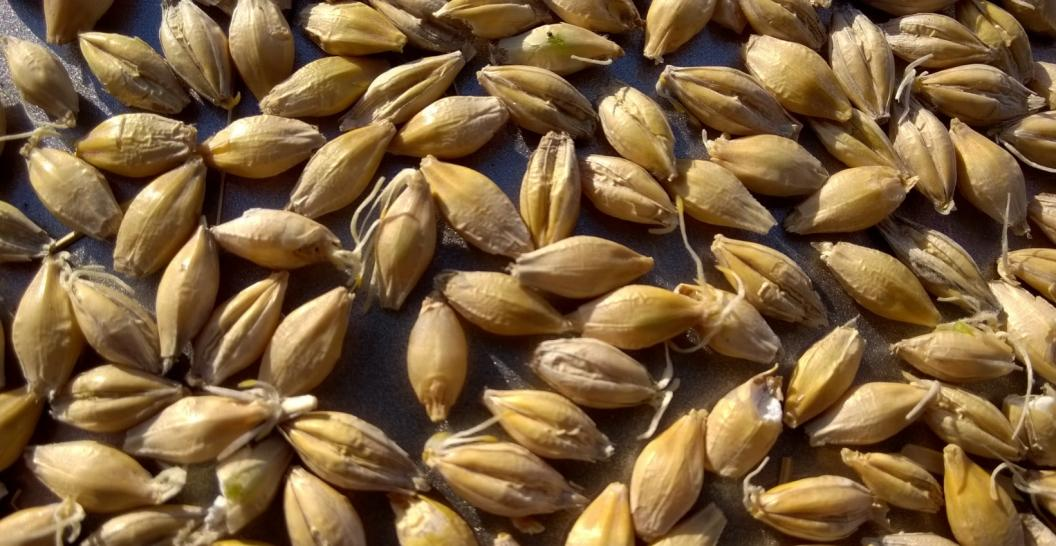 Name:  barley.jpg Views: 1094 Size:  104.2 KB