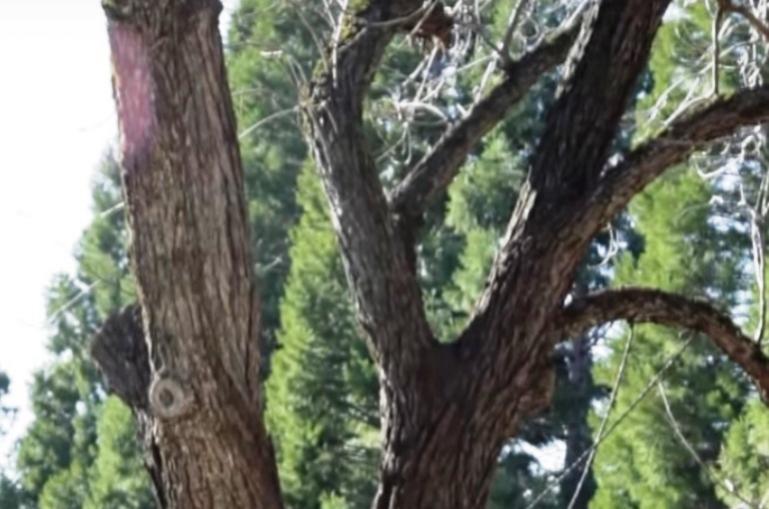 Name:  Pruning-Walnut-Tree.jpg Views: 91 Size:  56.4 KB