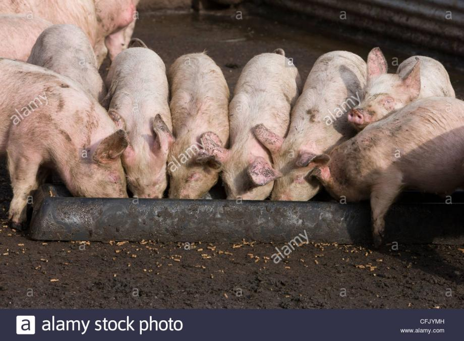 Name:  pigs-feeding-from-a-metal-trough-at-feeding-time-on-the-farm-CFJYMH.jpg Views: 54 Size:  95.6 KB