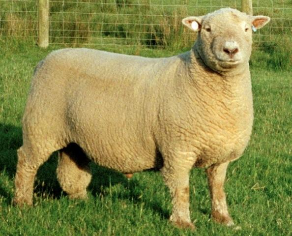 Name:  Sheep Farming  Raising Sheep Guide For Young Entrepreneurs --- South down Sheep breed.jpg